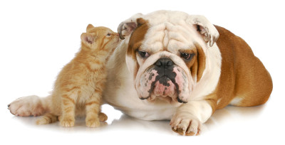 bigstock-cat-and-dog--cute-kitten-whis-18186770